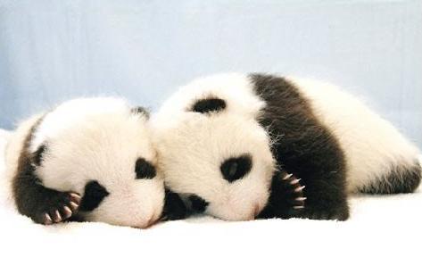 une s lection de panda hatenak le petit brid. Black Bedroom Furniture Sets. Home Design Ideas